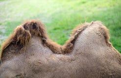 Горб верблюда Стоковое Изображение