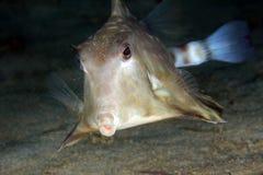 Горб Turretfish Стоковая Фотография