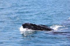 Горб Whaleclose вверх по заливу 2 Hervey Стоковые Изображения