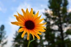 Гордая съемка макроса солнцецвета Стоковое Фото