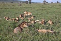 гордость больших львов травы лежа Стоковая Фотография