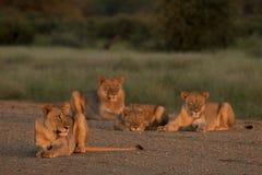 гордость льва стоковая фотография
