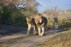 Гордость 3 львов идя вдоль двухгусеничной дороги Стоковые Изображения RF