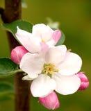 гордость williams цветка Стоковая Фотография RF
