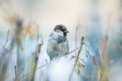 Гордый портрет милого смешного воробья птицы сидит на шиповатом Буше a Стоковые Изображения RF