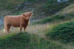 Горец - корова Scottish Стоковые Изображения