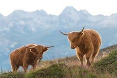2 горец - корова Scottish Стоковая Фотография