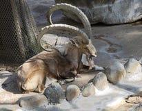 Горец лонгхорна каменного †козы» Стоковые Изображения RF