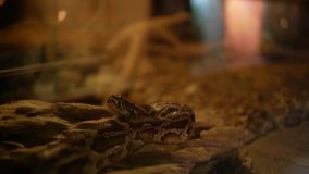Горжетка в constrictor горжетки Linnaeus terrarium сток-видео