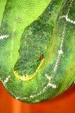 Горжетка дерева таза Амазонки изумрудная стоковая фотография rf