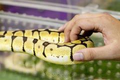 Горжетка золота в человеческие руки Стоковое Фото