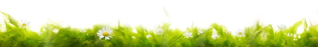 Горжетка пера с цветками маргаритки стоковые фотографии rf