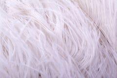горжетка пера Стоковые Фото