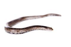 Горжетка песка карлика nogai на белизне Стоковая Фотография