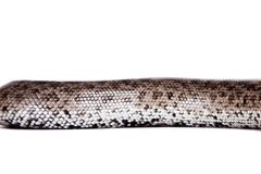 Горжетка песка карлика nogai на белизне Стоковое Изображение