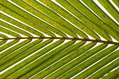 горизонтальная ладонь листьев Стоковое Фото