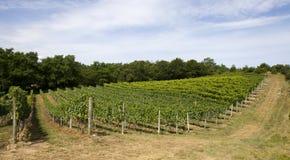 горизонтальная ориентация гребет виноградник Стоковая Фотография