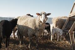 Горизонтальная съемка белых, который выросли больших овец смотря камеру Стоковые Изображения