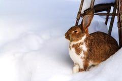Горизонтальный взгляд коричневых зайцев цвета сидя на снеге, космосе экземпляра стоковые фотографии rf