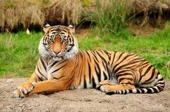 горизонтальный тигр портрета