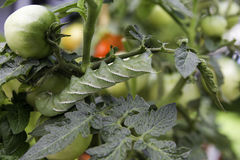 горизонтальный томат hornworm Стоковые Изображения RF