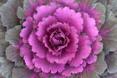 горизонтальный ornamental kale Стоковые Фотографии RF