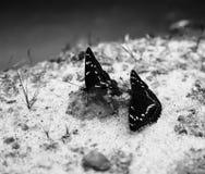 Горизонтальные 2 черно-белых бабочки на backgro bokeh песка Стоковые Изображения RF