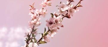 Горизонтальный вишневый цвет знамени с молодыми зелеными листьями Стоковое Фото