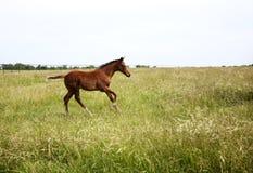 Горизонтальный осленок изображения цвета бежать на поле Стоковая Фотография