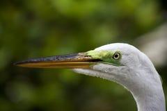 Горизонтальный портрет белого egret на предпосылке зеленой травы Белый кран Стоковые Изображения RF