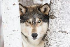 Горизонтальный портрет волка тимберса Стоковое Изображение RF