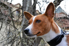 Горизонтальный портрет собаки породы basenji Стоковые Изображения