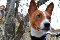 Горизонтальный портрет собаки породы basenji Стоковые Фотографии RF