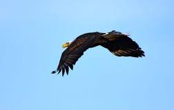 Горизонты белоголового орлана Стоковые Фото