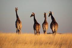 горизонт giraffes с гулять захода солнца Стоковые Фотографии RF