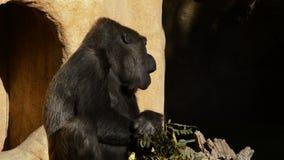 Горилла есть листья - гориллу западной низменности акции видеоматериалы