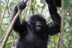 Горилла младенца в Руанде стоковые фотографии rf
