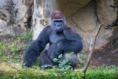 Горилла на зоопарке Тайбэе стоковое изображение
