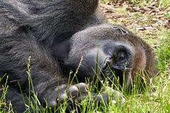 Горилла спать в конце травы вверх стоковое изображение
