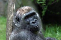 горилла стоковая фотография