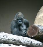 горилла Стоковые Изображения