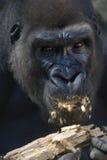 горилла Стоковые Фото