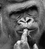 гориллы стоковое изображение