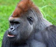 гориллы стоковые изображения rf
