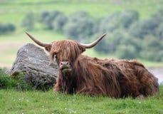 гористая местность быка стоковое изображение rf