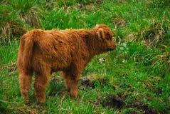 гористая местность коровы младенца Стоковые Изображения RF