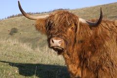 гористая местность коровы смотря уныл Стоковые Фотографии RF