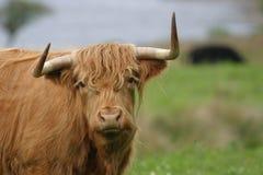 гористая местность коровы Стоковое Изображение RF