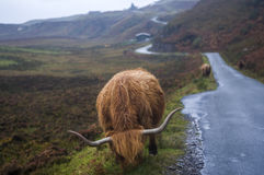 Гористая местность коровы Стоковая Фотография RF
