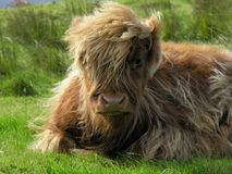 гористая местность коровы aberdeen angus Стоковые Фотографии RF